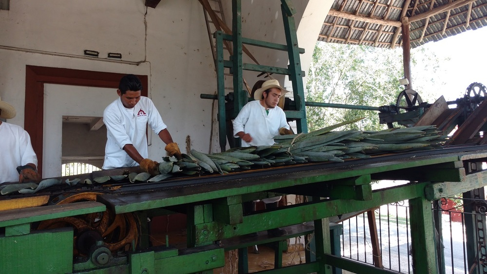 Sisal leaves being placed and spaced for processing.
