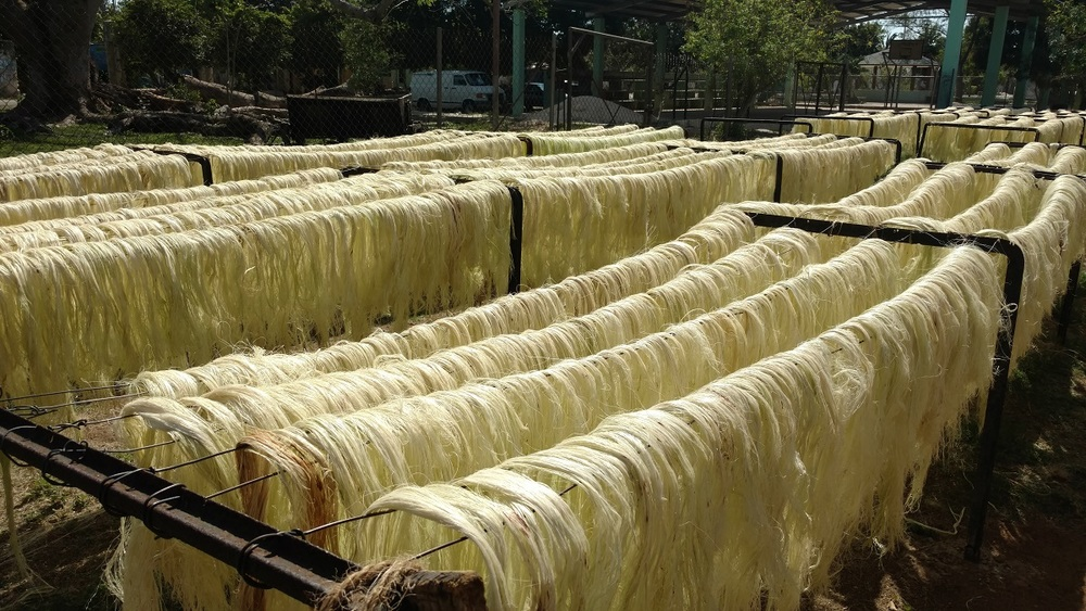 Sisal fibers are dried using modern solar power.