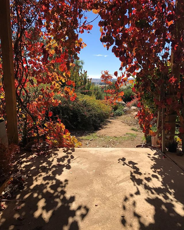 Autumn days 🍂 #ornamentalgrapevine #sidonia #mygardentoday #livingtheseasons #mirandasverandah 😉