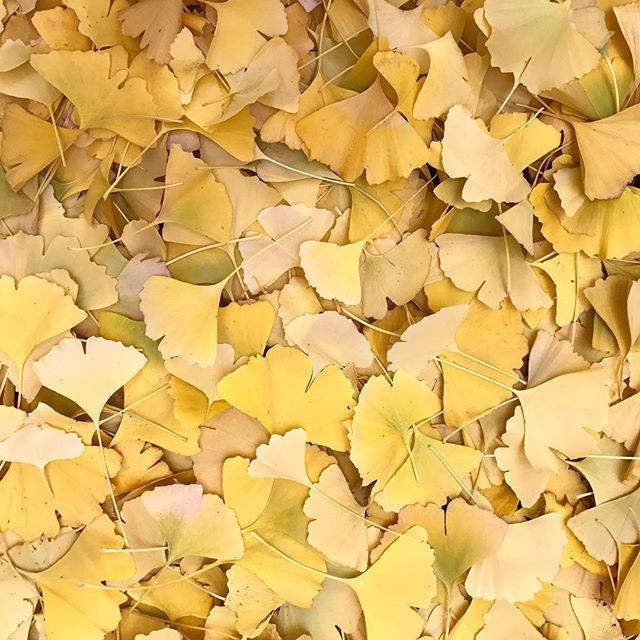Winter has set in this week in central Victoria. The ginkgo has lost all but 2 of its leaves & I just love the carpet of yellow fans that spread beneath it 💛 #ginkgobiloba #ginkgoleaves #winterfoliage