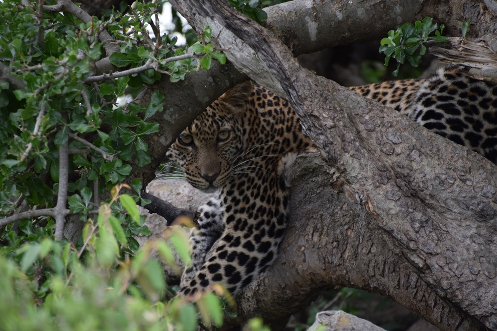Gorgeous young leopard captured by Andrew Nightingale our guide while in the Mara