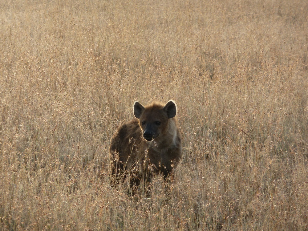 Hyena in the Mara
