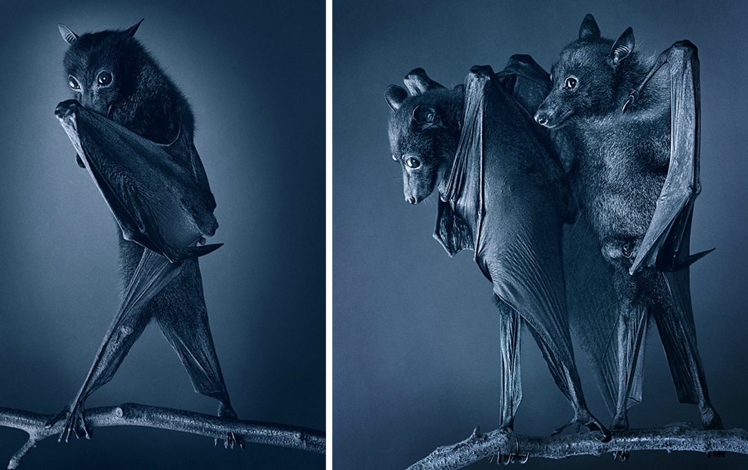 Tim Flach's animal portraits prove that bats truly are the hairy vampires of the animal kingdom. Just try to tell me those wings don't look like capes. (via io9)