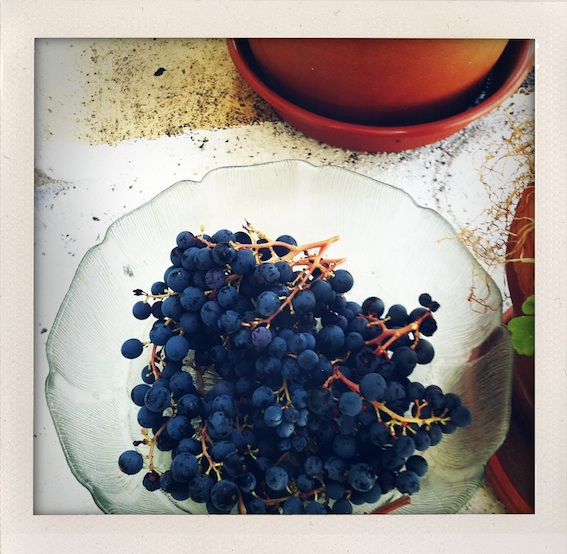 My first, and only, grape harvest, 2009
