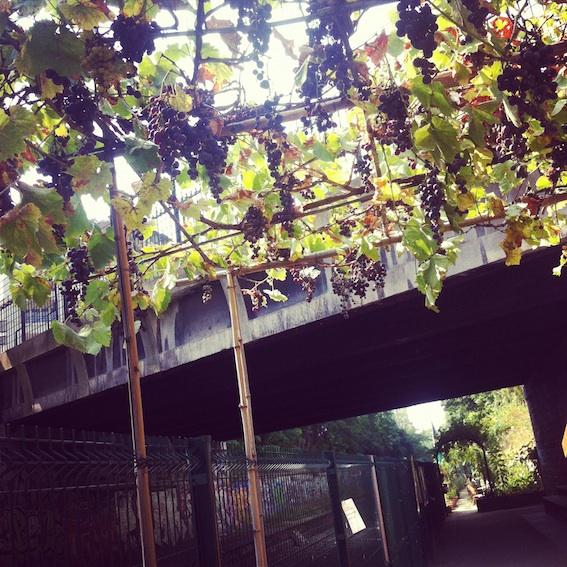 Grapevines at Les Jardins du Ruisseau community garden