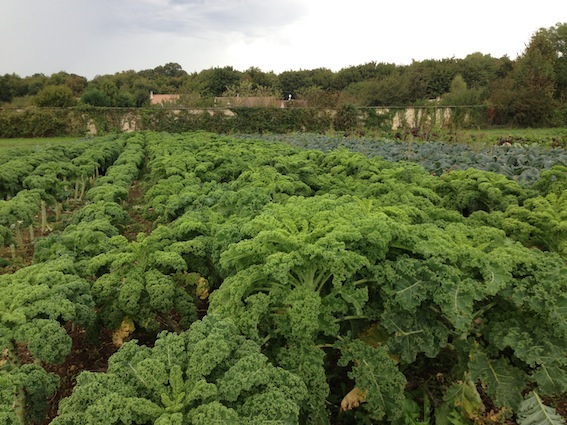 A kale crop in °°°