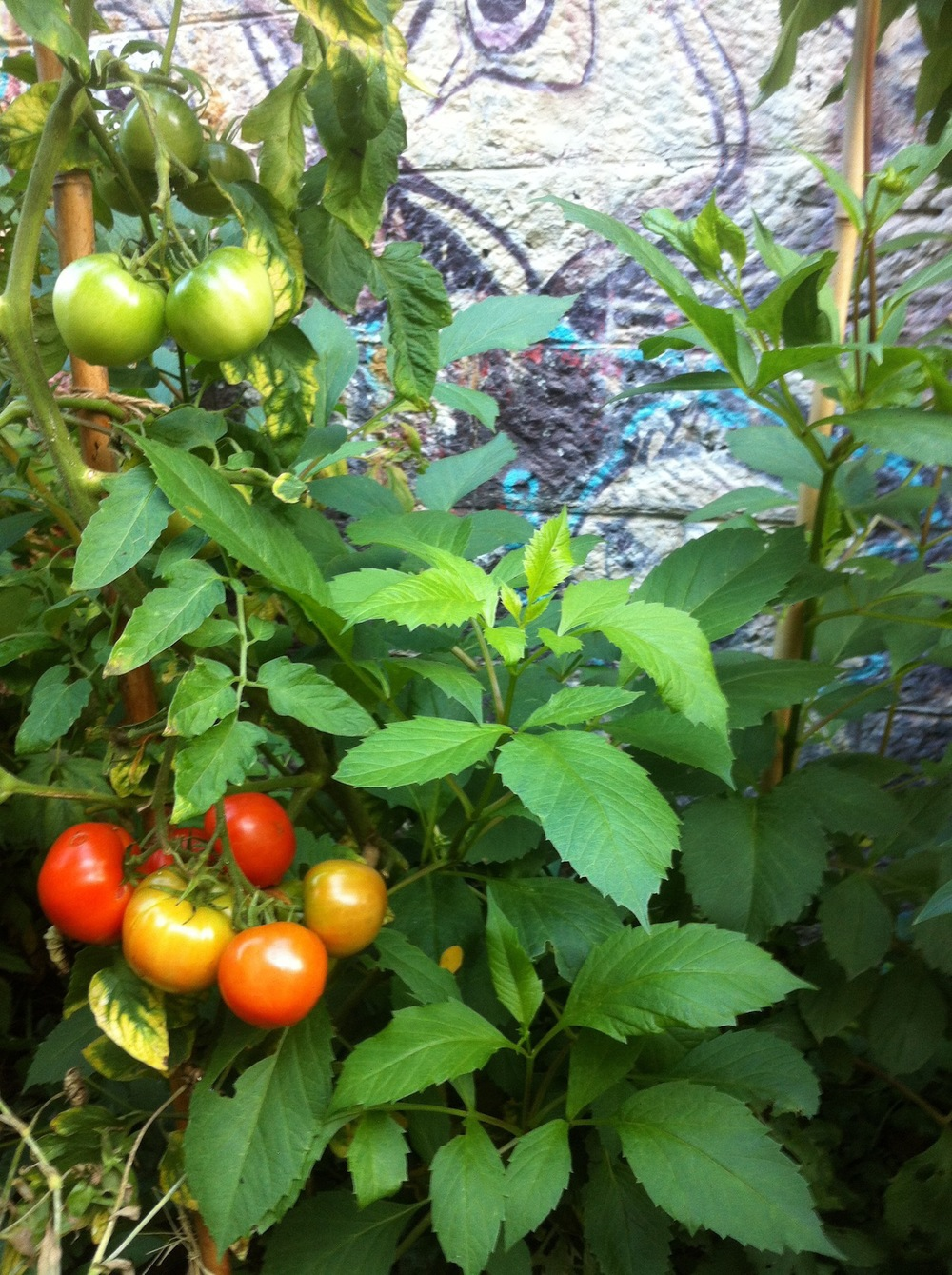 Tomatoes growing in a Paris community garden