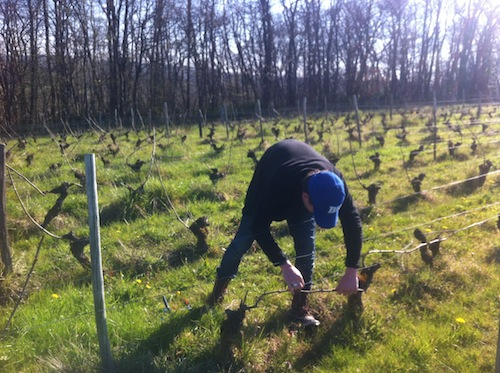 Working in the vines in the springtime