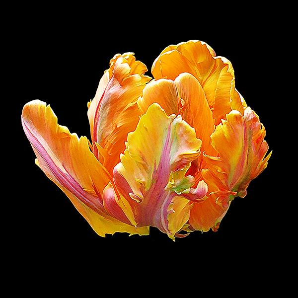 Tutti Frutti Tulip