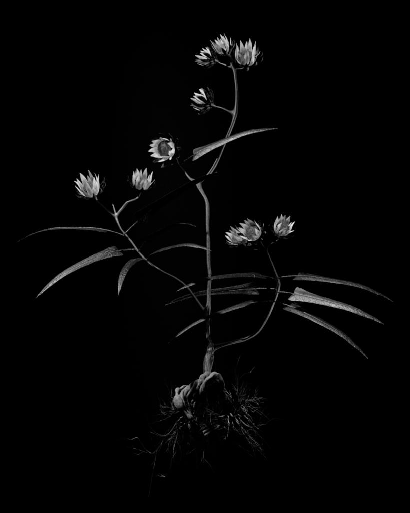 Voynich Botanical Studies, Specimen 20v Zima, 2016, silver gelatin print on fiber-based paper