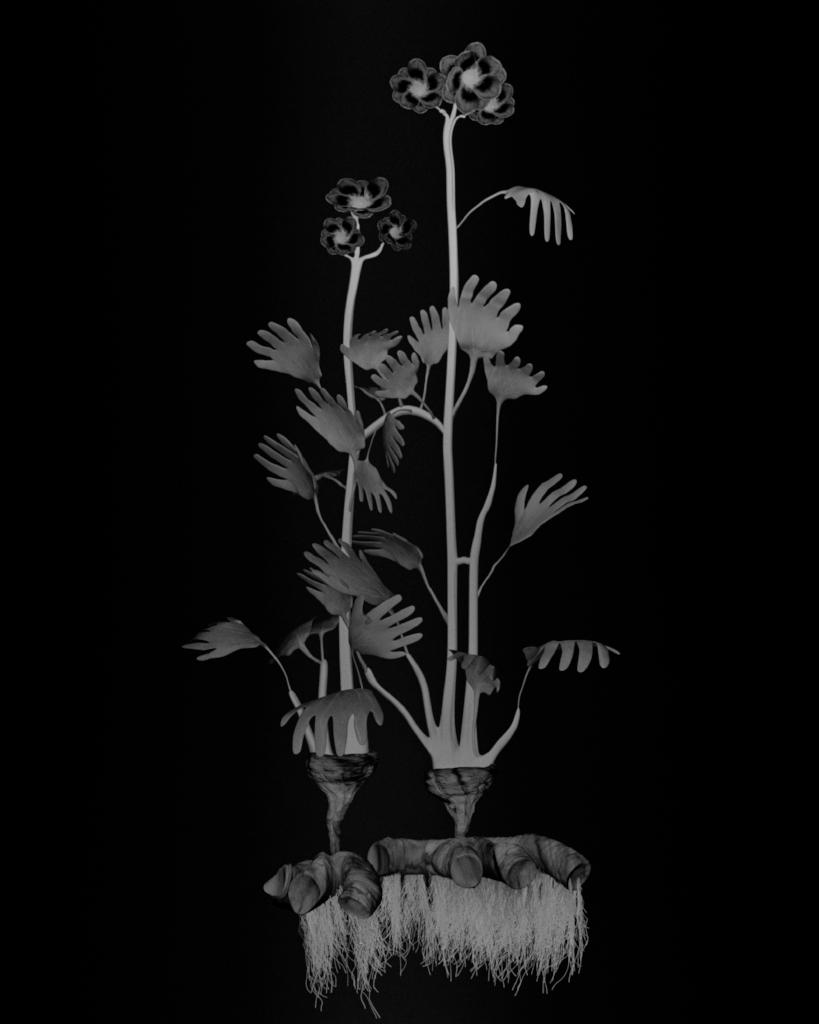 Voynich Botanical Studies, Specimen 23r Zima, 2016, silver gelatin print on fiber-based paper
