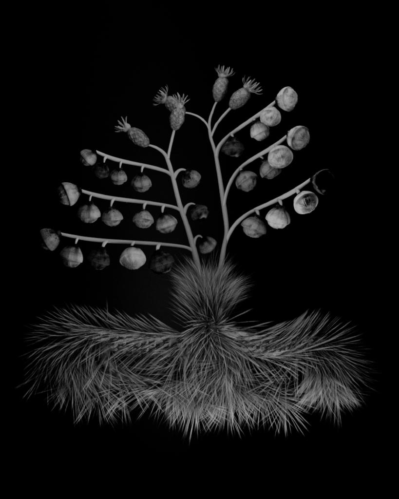 Voynich Botanical Studies, Specimen 34v Zima, 2016, silver gelatin print on fiber-based paper