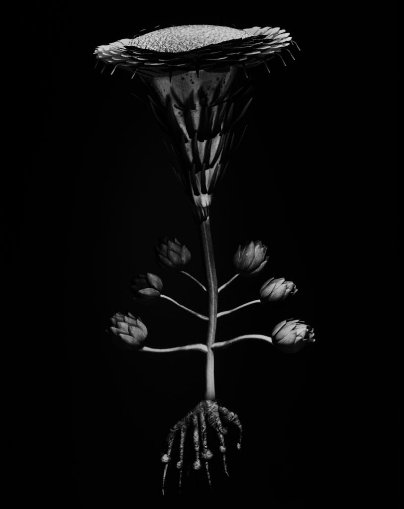 Voynich Botanical Studies, Specimen 40v Jaro, 2016, silver gelatin print on fiber-based paper
