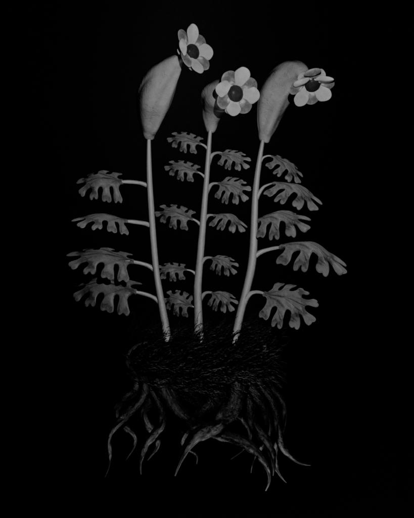 Voynich Botanical Studies, Specimen 55r Zima, 2016, silver gelatin print on fiber-based paper