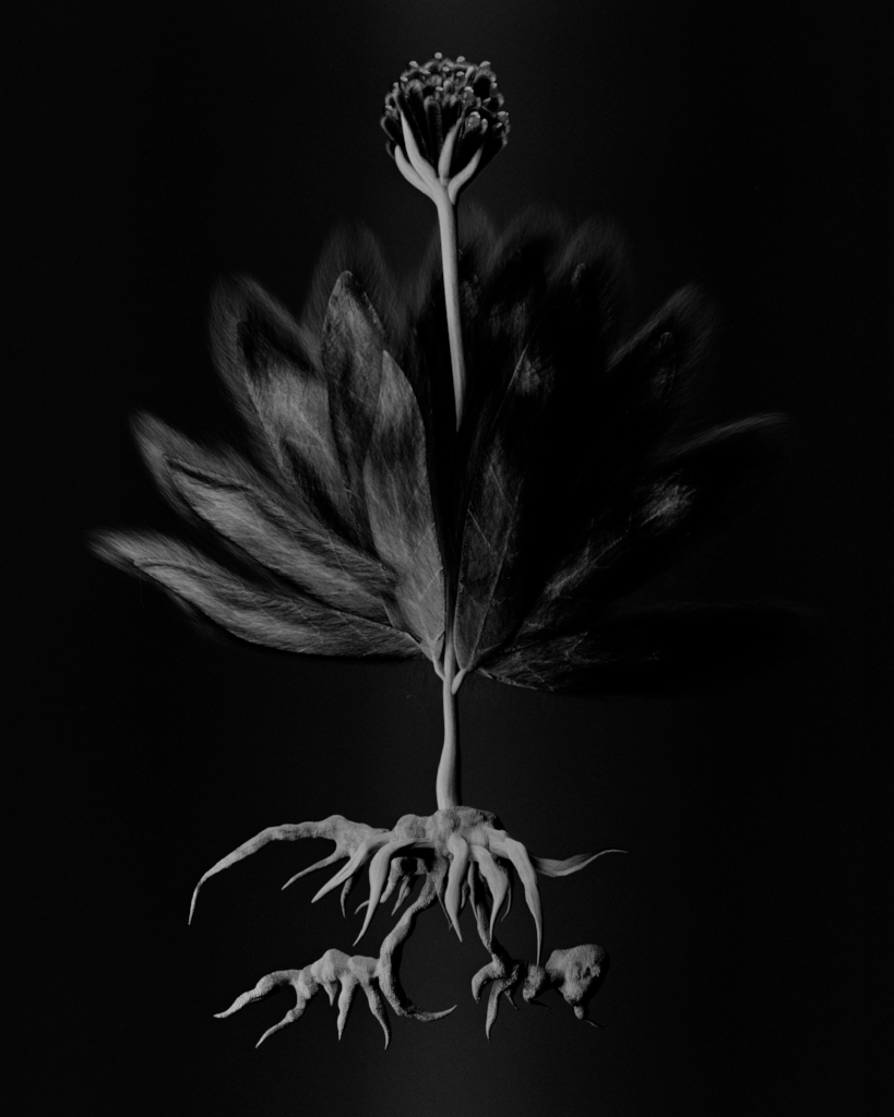 Voynich Botanical Studies, Specimen 55v Zima, 2016, silver gelatin print on fiber-based paper
