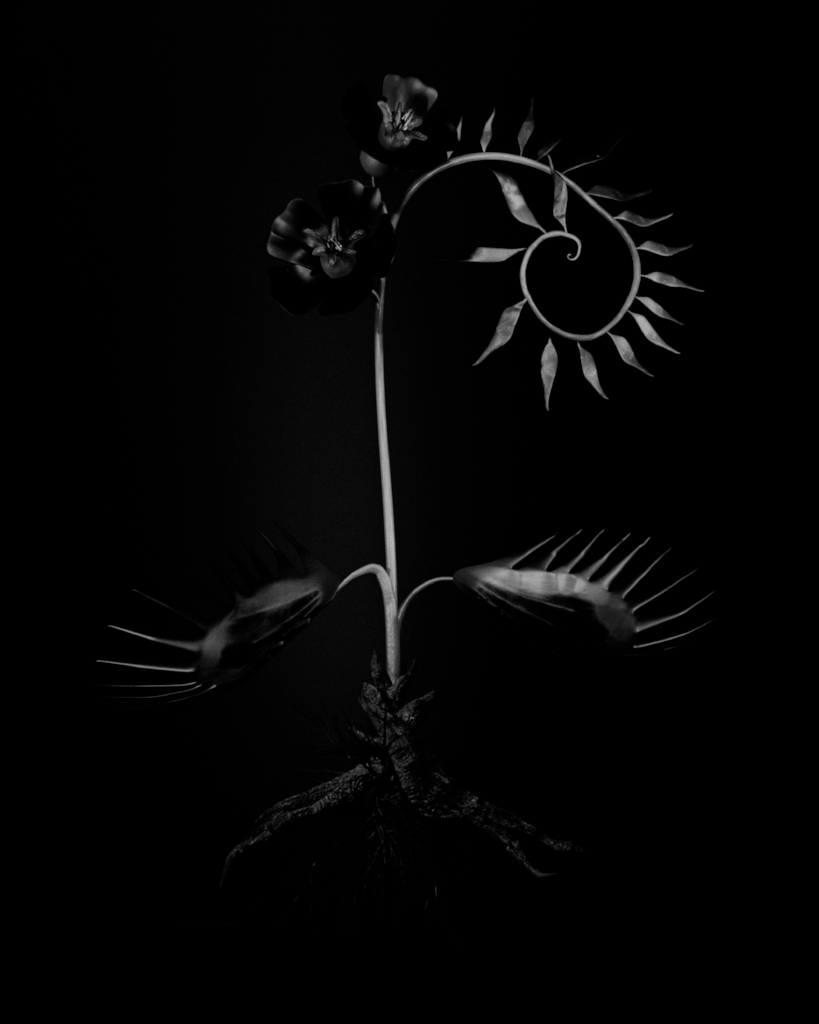 Voynich Botanical Studies, Specimen 56r Zima, 2016, silver gelatin print on fiber-based paper