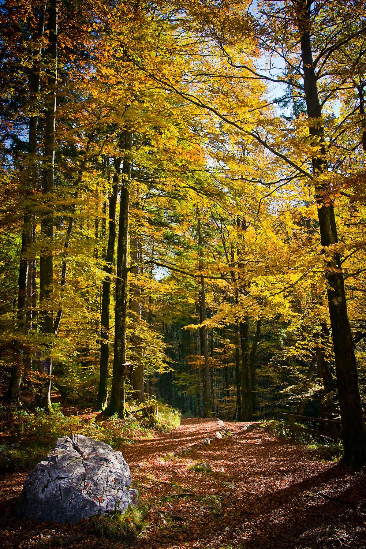 foresta faggio.jpg