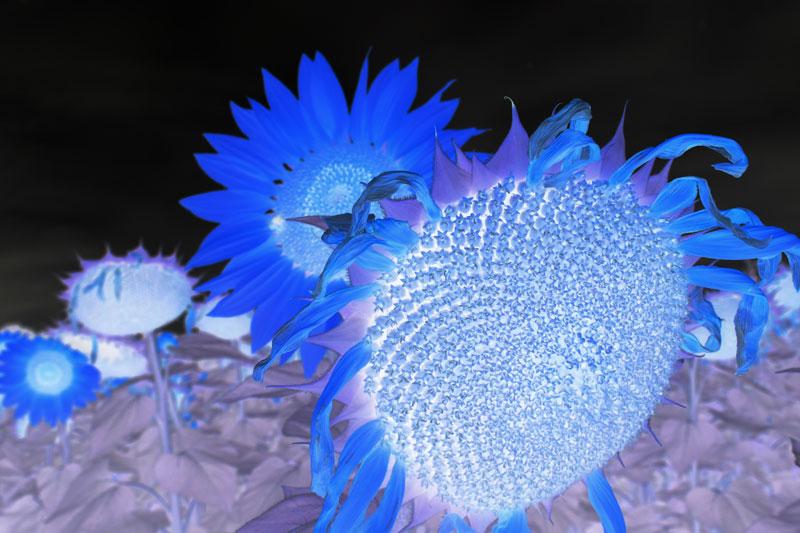 SunflowerNP_5536.jpg