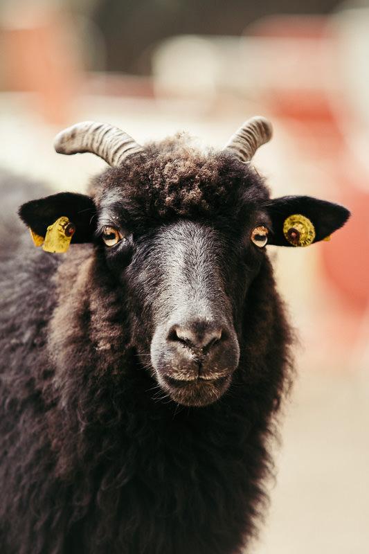 Schafe-im-Hasenholz