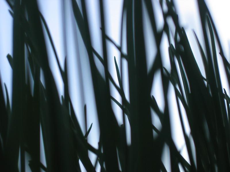 EVENING GRASSES