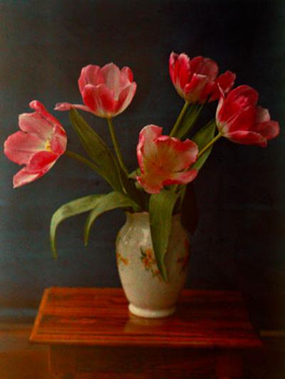 Classic red tulip portrait