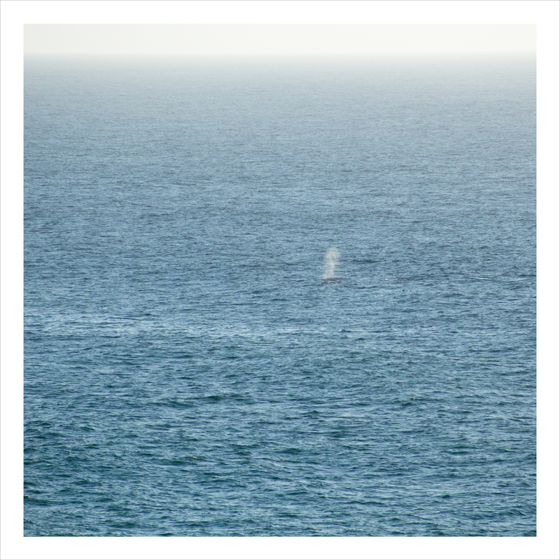 whale, Bodega Bay