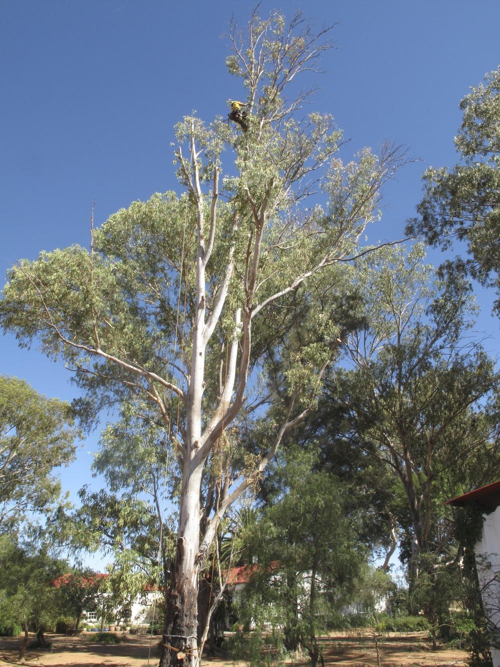 Eucalyptus Retrenchment
