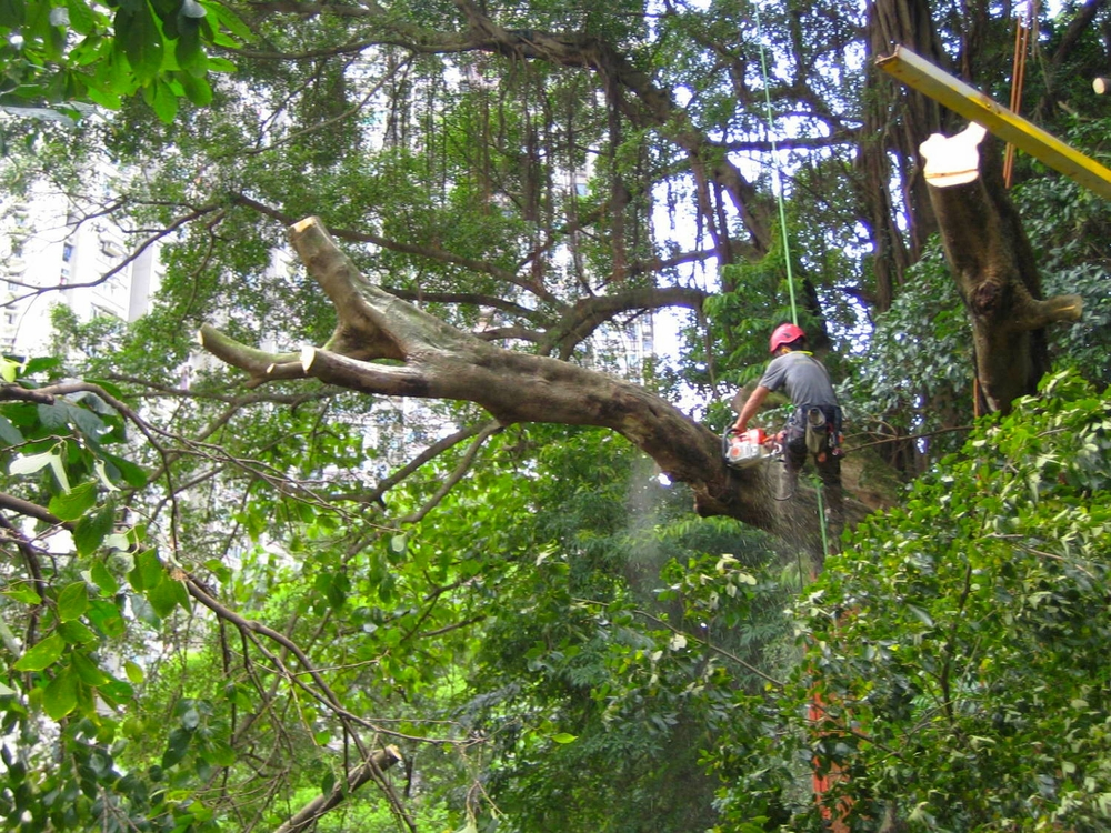 Large tree removal in Hong Kong