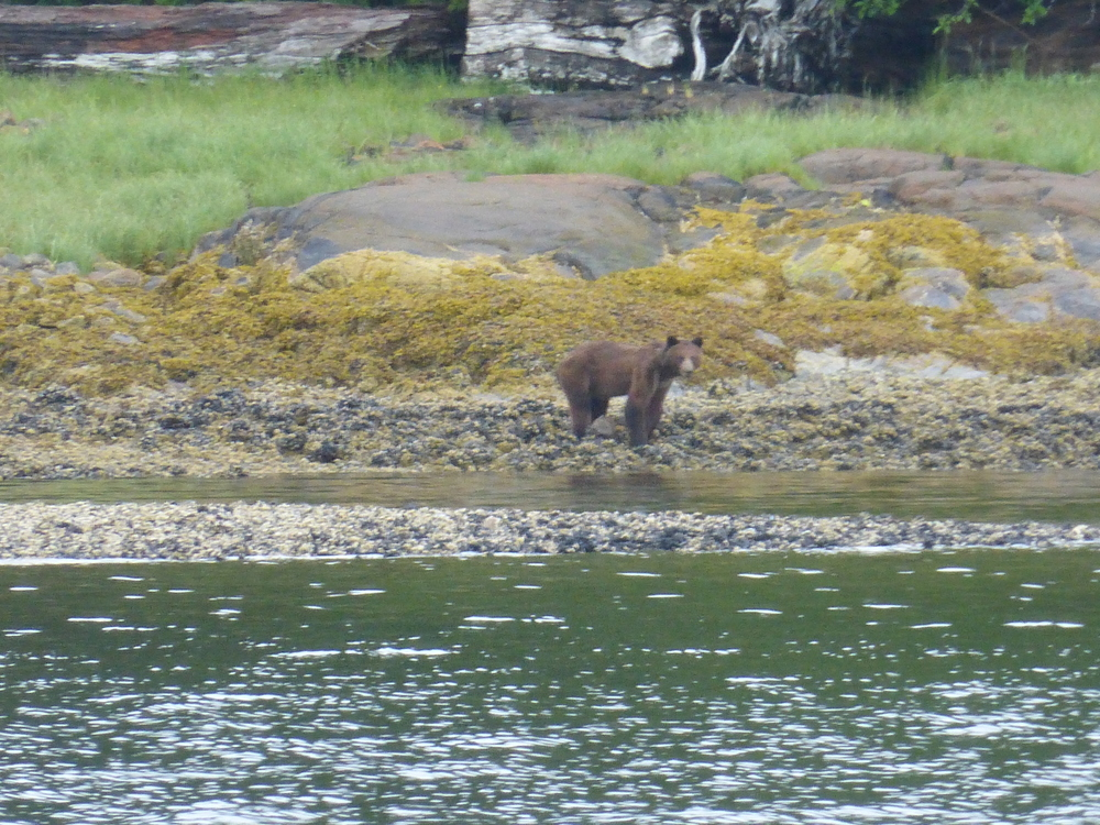 Diana captures a great photo of a bear as we enter the channel to Ocean Falls.