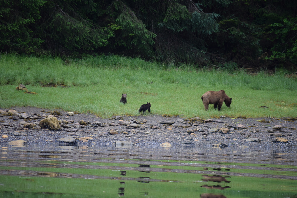 Mama Grizzly and her two cubs leisurely eating grass...