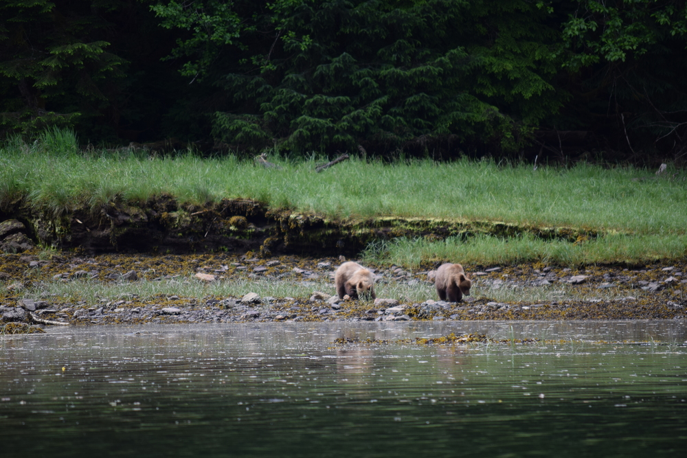 These two cubs lost their mom just over a week ago.  Everyone at the Bear Sanctuary hopes they can survive the winter.  Looks like they learned how to dig for clams and we saw them eating grass, let's hope they also learned how to fish for salmon and stay away from the male grizzlies...
