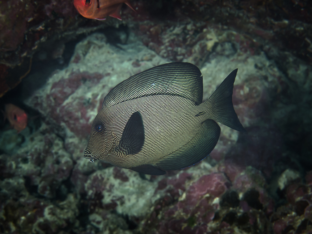 Black Surgeonfish_20140628.jpg