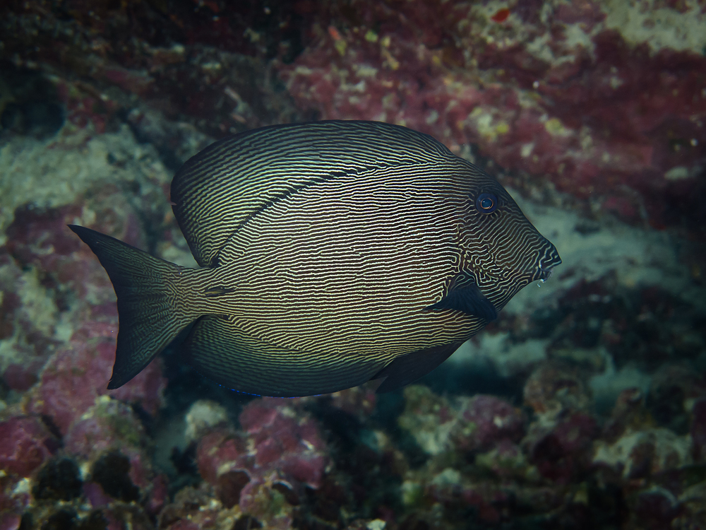 Black Surgeonfish_20140628-2.jpg