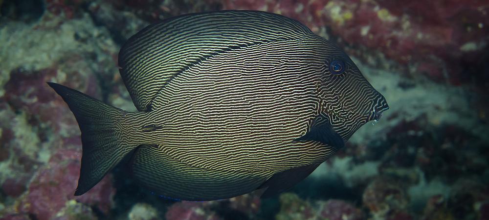 Black Surgeonfish_20140628-2(Crop).jpg