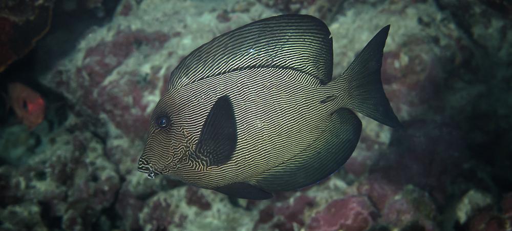 Black Surgeonfish_20140628(Crop).jpg