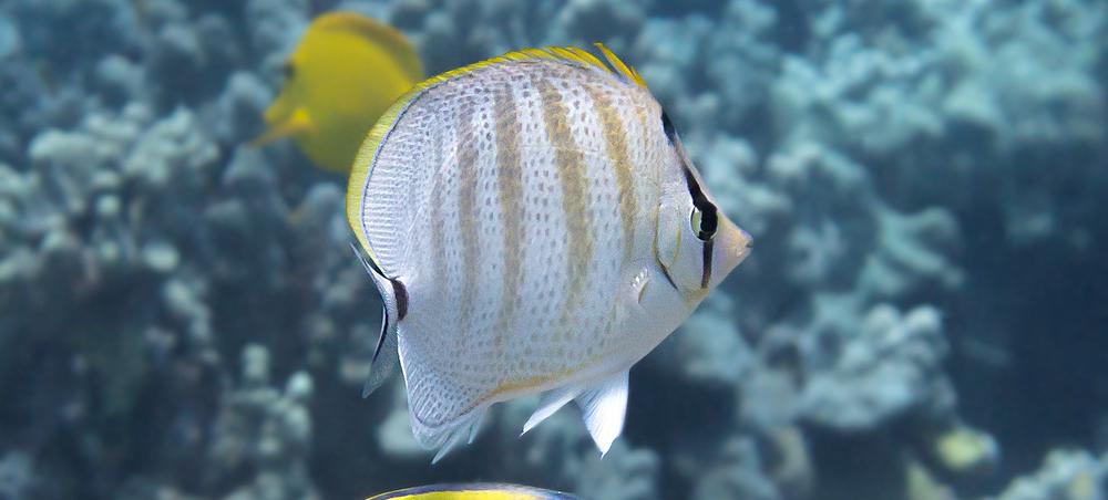 Multiband Butterflyfish_20130702(Crop).jpg