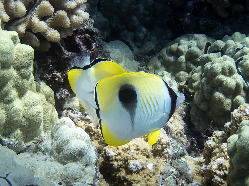 Teardrop Butterflyfish_20130702.jpg