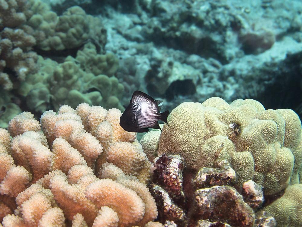 Hawaiian Dascyllus_20140605.jpg