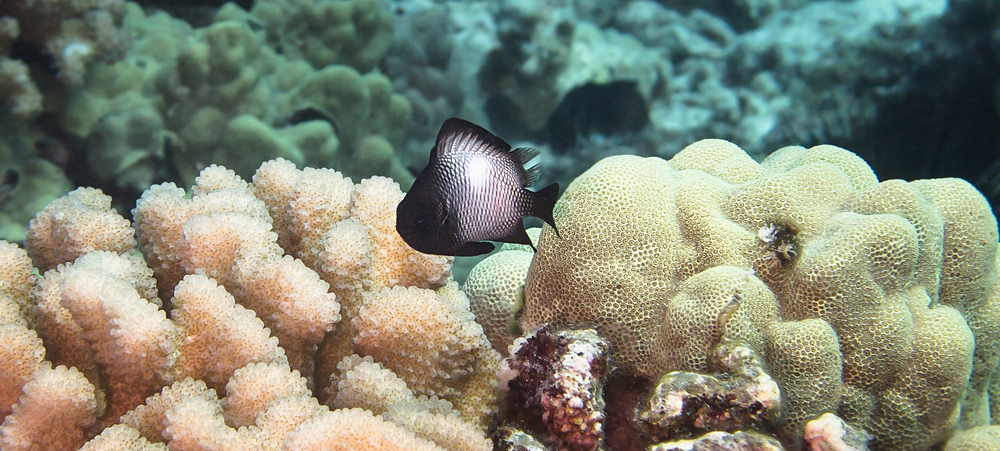 Hawaiian Dascyllus_20140605(Crop).jpg