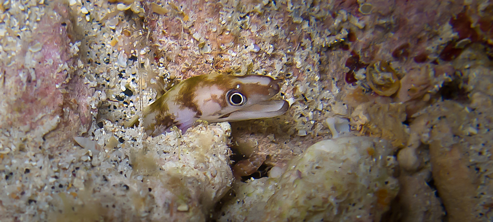 Slendertail Moray Eel_20120325(Crop).jpg