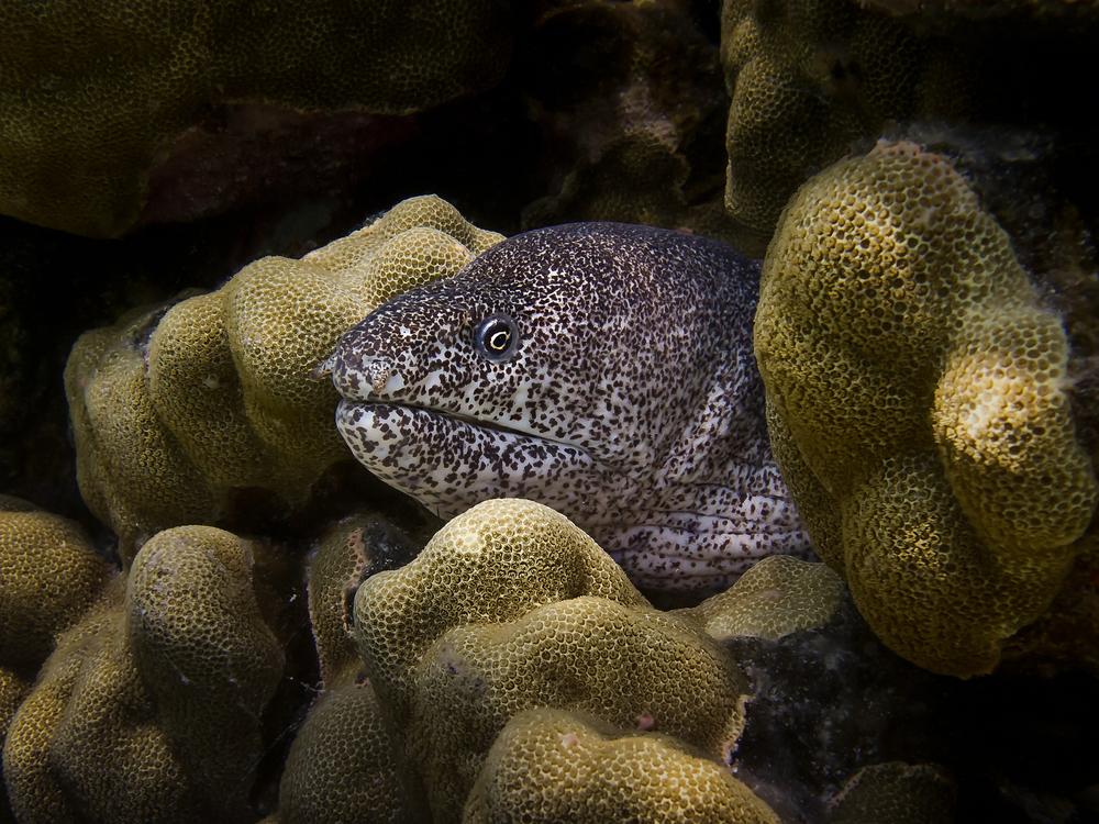 Peppered Moray Eel_20120309.jpg
