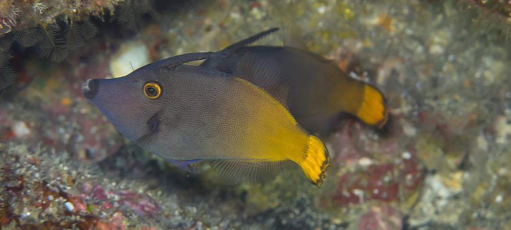 Yellowtail Filefish_20130215(Crop).jpg