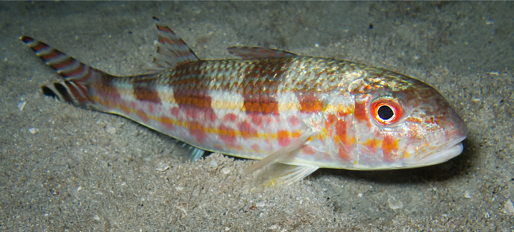 Bandtail Goatfish_20110823-2(Crop).jpg