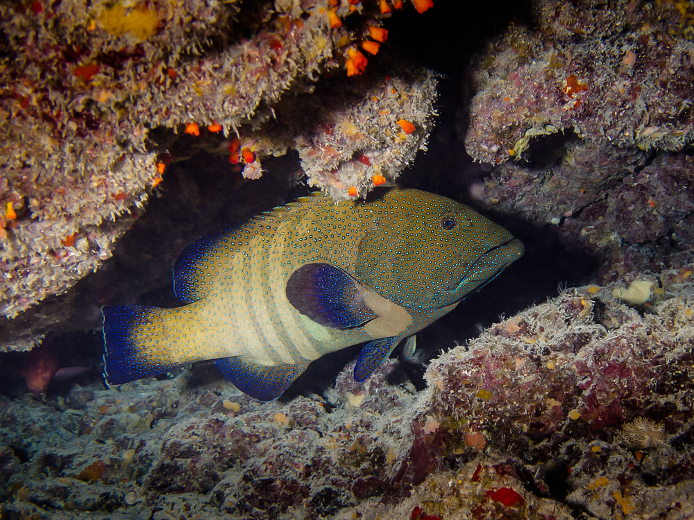 Peacock Grouper_20140612.jpg