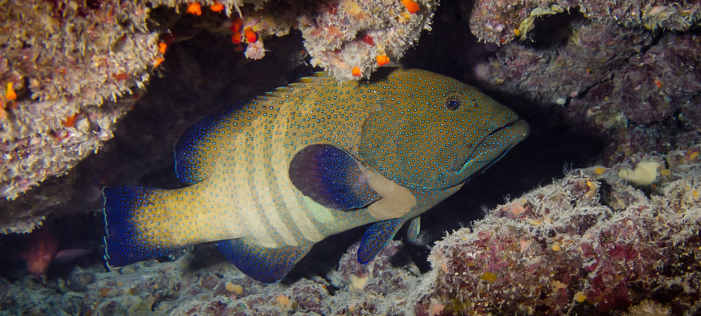 Peacock Grouper_20140612(Crop).jpg