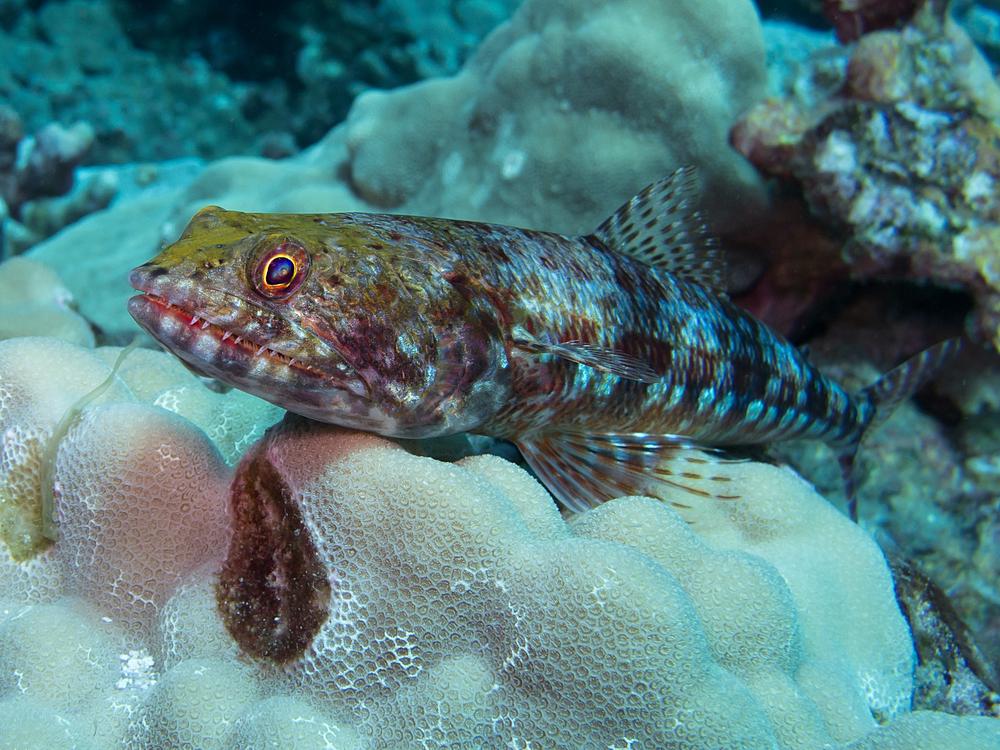 Twospot Lizardfish_20131006.jpg