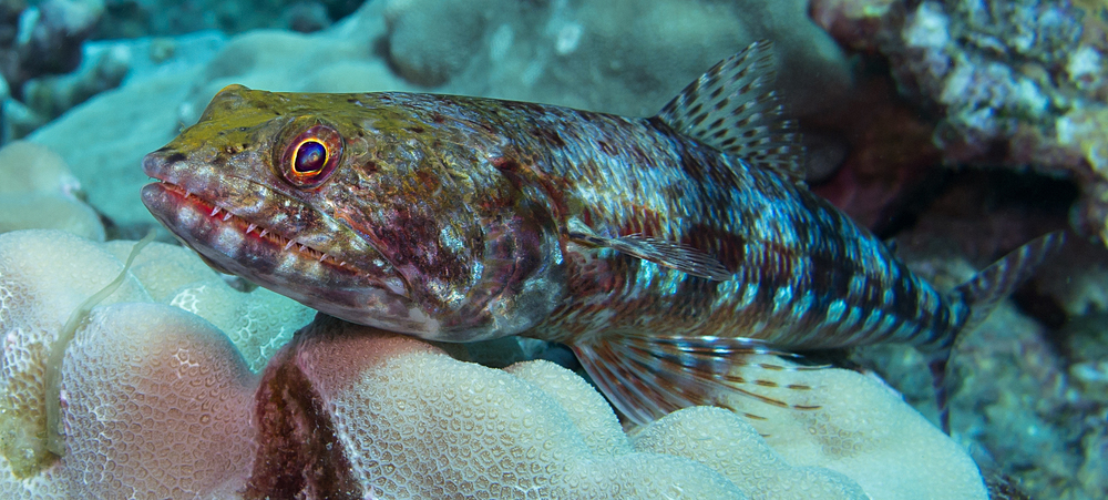 Twospot Lizardfish_20131006(Crop).jpg