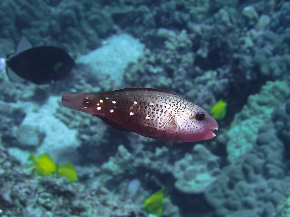 Bullethead Parrotfish_20140612.jpg