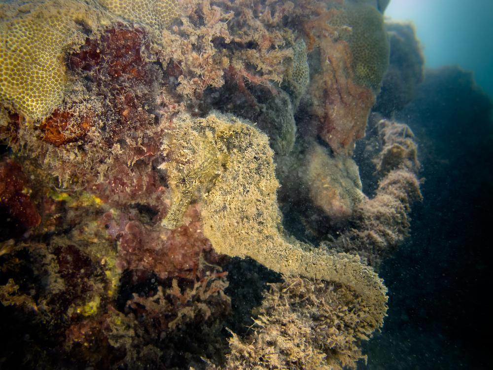Hawaiian Smooth Seahorse_20130914-3.jpg
