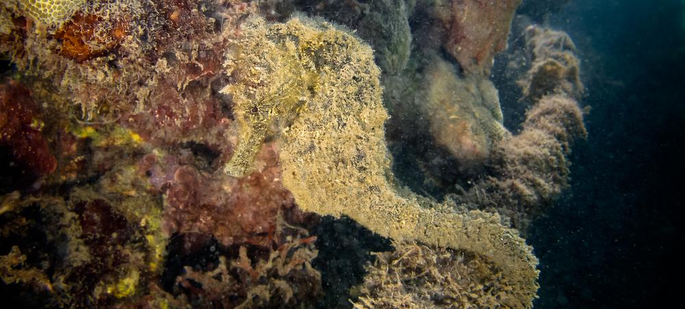 Hawaiian Smooth Seahorse_20130914-3(Crop).jpg